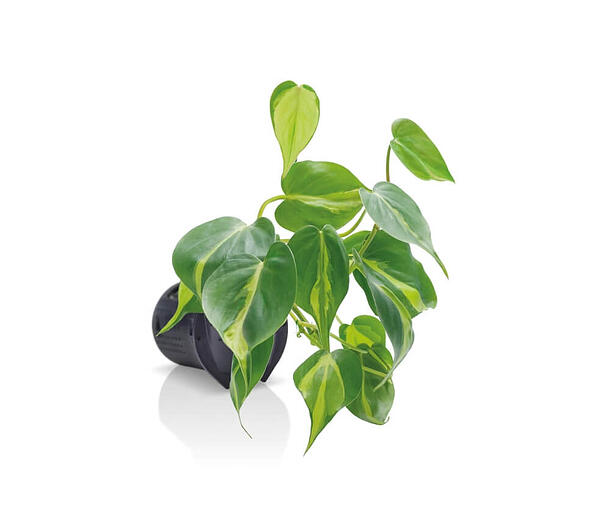 One of the Naava plants, Philodendron Scandens Brazil
